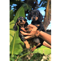 Dachshund Cachorros Para Adopción