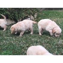 Cachorros De Golden Retriever Para Adopción