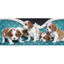 Beautiful King Charles Spaniel Pups En Venta