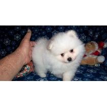 Cachorros Pomerania Machos Y Hembras Para Adopción