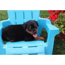 Cachorros Rottweiler Machos Y Hembras Para Adopción